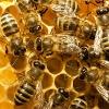 abeilles ms