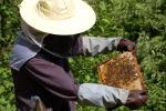 apiculture mls